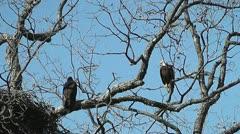 Bald Eagle Perches Near Eaglet in Llano Texas I Stock Footage
