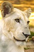 Stock Photo of young white lioness