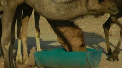 Camels Feeding 3 - stock footage