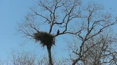 Eaglet Perches Near Nest in Llano Texas III Stock Footage