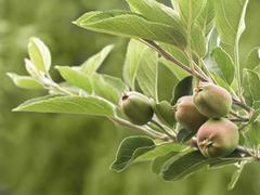 Stock Photo of young apples
