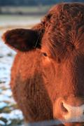 Stock Photo of Beef cow close up