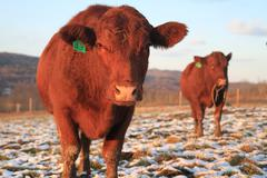 Beef cattle in snowy field - stock photo