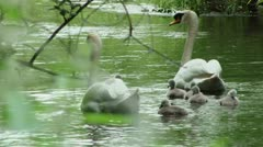 Swan family - HD Stock Footage