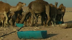 Camels Feeding 8 - stock footage