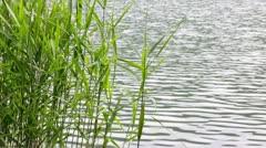 Marsh reeds Stock Footage