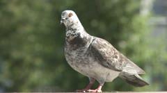 Pigeon in milan Stock Footage