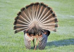 wild turkey (meleagris gallopavo) - stock photo