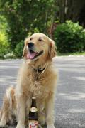 Golden Retriver sitting with a beer - stock photo