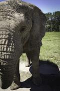 Elephant Half - stock photo