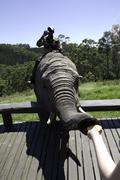 Elephant Feed - stock photo