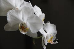 Withe orchidee on a black background - stock photo
