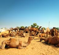 camels during festival in pushkar - stock photo