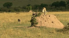 CHEETAHS AND TERMITE MOUND Stock Footage
