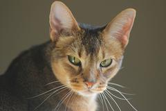 Face of Abyssinian cat Stock Photos