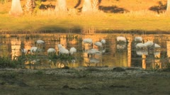 Wood Storks in Florida Pond Clip 5 Stock Footage