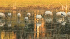 Wood Storks in Florida Pond Clip 3 Stock Footage