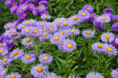 purple aster flowers - stock photo