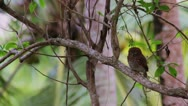 Stock Video Footage of pygmy owl