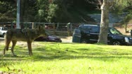 Coyote Stock Footage