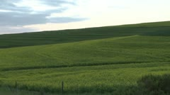 Green fields of wheat with sheep in background on hill PAL Stock Footage