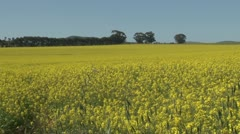 Canola fields in bloom PAL Stock Footage