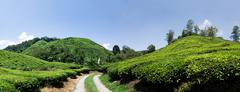 Tea plantation in Cameron Higlands, Malaysia - stock photo