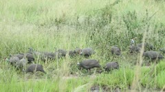 A large group of helmeted guinea fowls Stock Footage