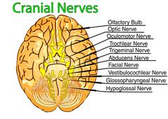 Cranial nerves Stock Illustration