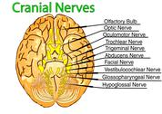 Stock Illustration of cranial nerves