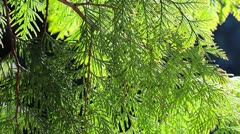 Green juniper branches in the forest Stock Footage