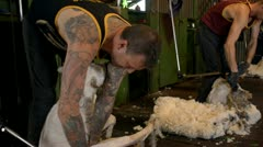 Shearers Finish Shearing Merino Sheep Stock Footage