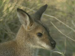 Red-necked wallaby joey close-up on camera, Macropus rufogriseus Stock Footage