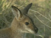 Stock Video Footage of red-necked wallaby joey close-up on camera, Macropus rufogriseus