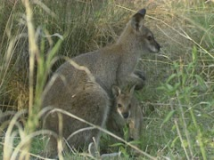 Red-necked wallaby with joey in tall grass, Macropus rufogriseus Stock Footage