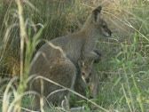 Stock Video Footage of red-necked wallaby with joey in tall grass, Macropus rufogriseus