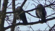 Two crows and cheese Stock Footage