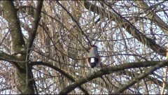 Bullfinch on the branch Stock Footage