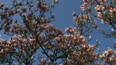 Magnolia x Soulangeana JFE Hamelin - full bloom - low angle Stock Footage