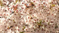 Spring flowers on tree Stock Footage