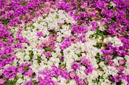 Flowering bougainvillea. Stock Photos