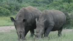 Two white rhinos grazing in the veld Stock Footage
