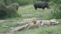 Sleep lions with rhinos nearby Stock Footage