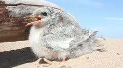 Baby bird  summer hot thirst also torments Stock Footage