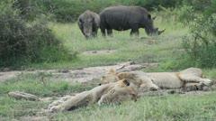 Two lions sleeping with rhino closeby Stock Footage
