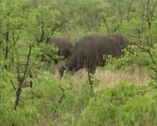 Cape buffalo, syncerus caffer grazing in Kruger park, Africa Stock Footage