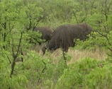 Stock Video Footage of Cape buffalo, syncerus caffer grazing in Kruger park, Africa