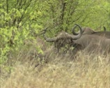 Stock Video Footage of Cape buffalo, syncerus caffer hidden between shrubs, Kruger Park 01