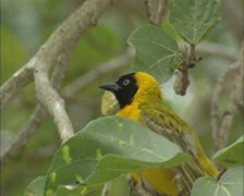 Lesser Masked Weaver, Ploceus intermedius, perched on branch Stock Footage