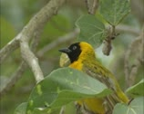 Stock Video Footage of Lesser Masked Weaver, Ploceus intermedius, perched on branch